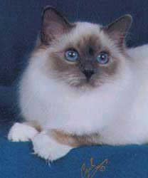Bojacat Vabulous - Blue Point Female Birman