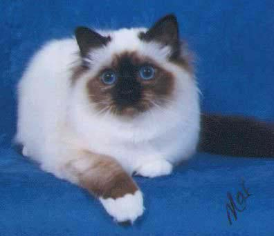 Bojacat Windchimes - Seal Point Birman Female at 5 months
