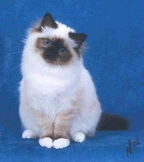 Seal point female Birman - Bojacat Windchimes